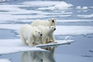 Stop Global Warming From Small Things Polar Bear Ice Bear 1