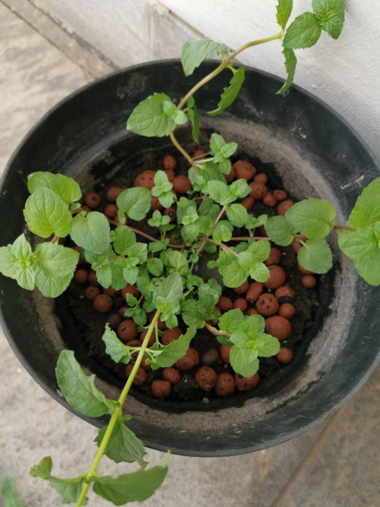 Menanam Mint Dari Benih Pot Tanah