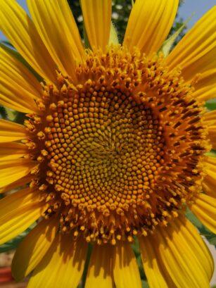 Blooming Sunflower, Tanam Bunga Matahari - HerwinLab