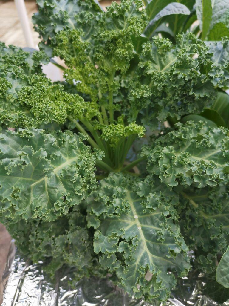 Curly Kale Hidroponik
